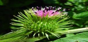 گیاهی فوق العاده برای تقویت حافظه