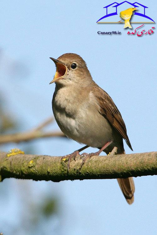 Nightingale-kolab-canary98