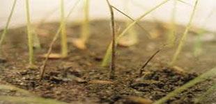 دانلود مقاله مهمترين بيماريهاي برنج