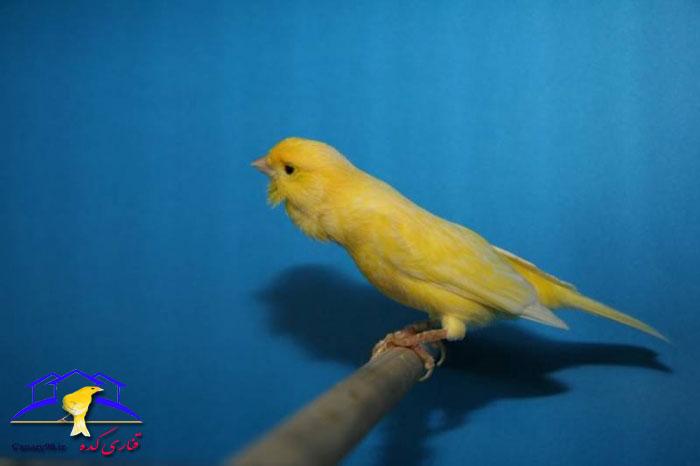 roller-canary-singer-for-sale-melafamle_kolab